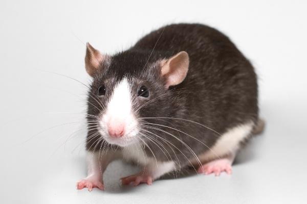 rat-905602-edited.jpg